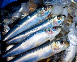 鰯の釣り/料理/保存方法など